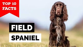 Field Spaniel  Top 10 Facts