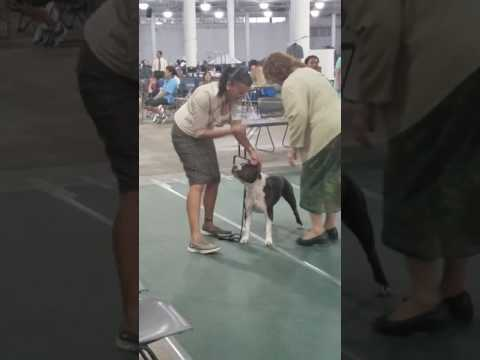 Pasha at the Maui Kennel Club Show