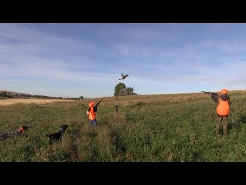 First Time Youth Pheasant Hunters, GREAT Shooting And Beautiful Dogs!