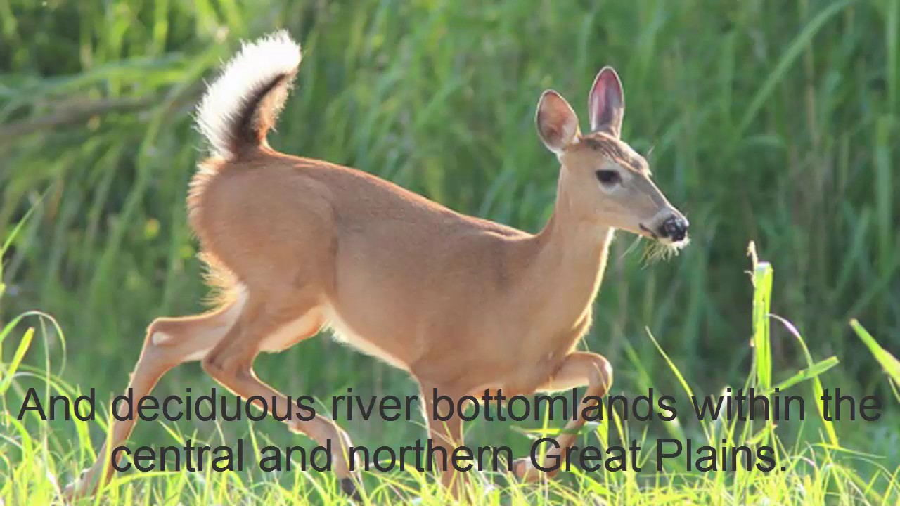 10 Whitetail Deer Facts Most Hunters Don't Know -animal ...