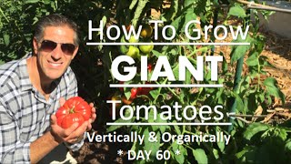 Grow GIANT Tomatoes Vertically & Organically | TOMATO TIPS--DAY 60 Update