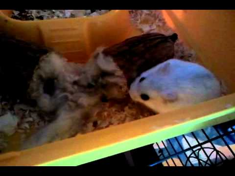 Our Hamster Gets Some Kapok Youtube