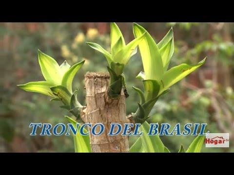 Como cuidar el tronco o palo del brasil hogar tv por juan gonzalo angel youtube - Como se planta el bambu ...