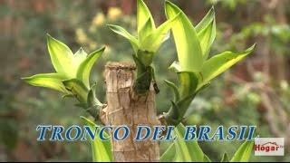 Como cuidar el tronco o palo del brasil - Hogar Tv  por Juan Gonzalo Angel