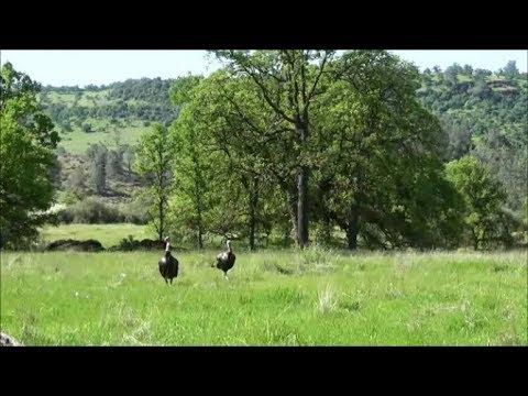 California Wild Turkey Hunt 2019 -  Public Land Birds Come On A String