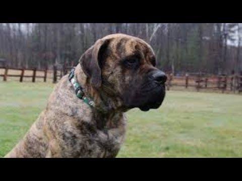 The Mastiff Dog - A Large Dog Breed.