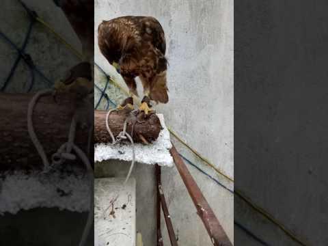 Chim ưng ăn chuột