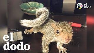 Bebé ardilla rescatada es la reina de su nueva casa YouTube Videos