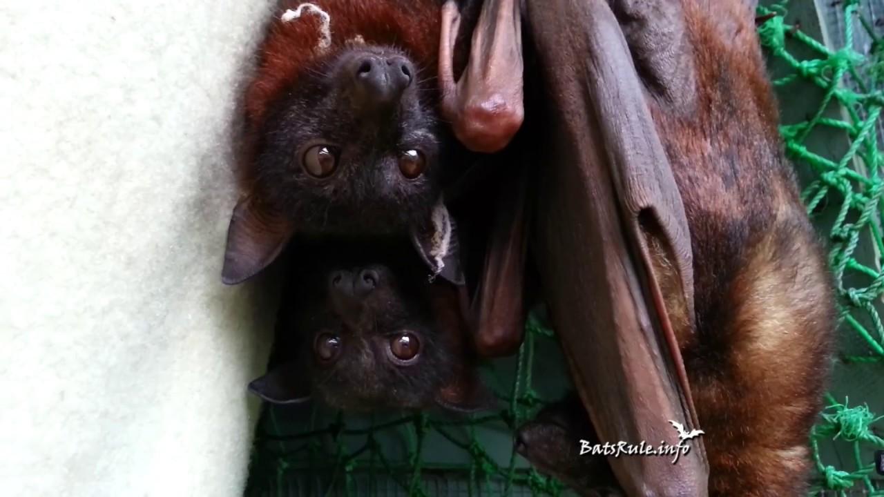 REHAB 2013 Megabat, Flying fox, Fruit bat, Bats N Wildlife - cover