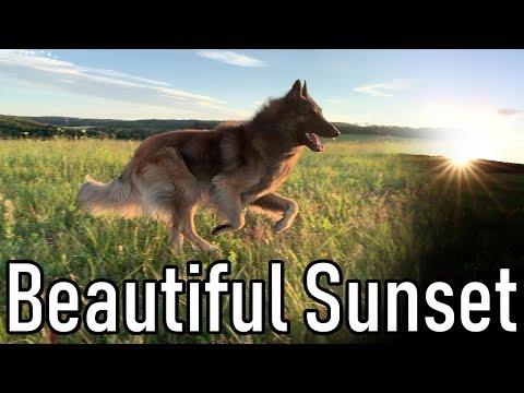 Belgian Shepherd Dog in Beautiful Sunset | Relaxing Slow Motion Video