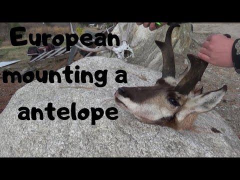 European Mounting a Pronghorn Antelope skull