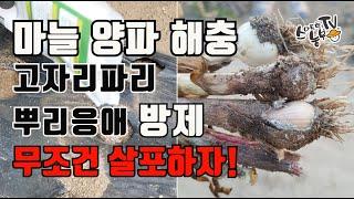 마늘 양파 고자리파리 토양살충제 뿌리기 뿌리응애 농약