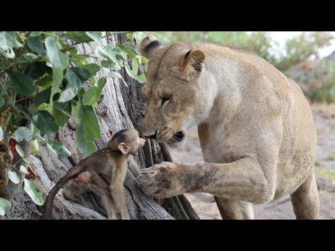 Lion, Leopard, Buffalo and Monkey in Forest / Lion Save Baby Monkey