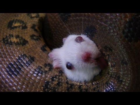 anaconda-destroys-mouse-(hd)