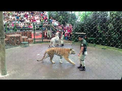 awesome tiger show and education taman safari indonesia