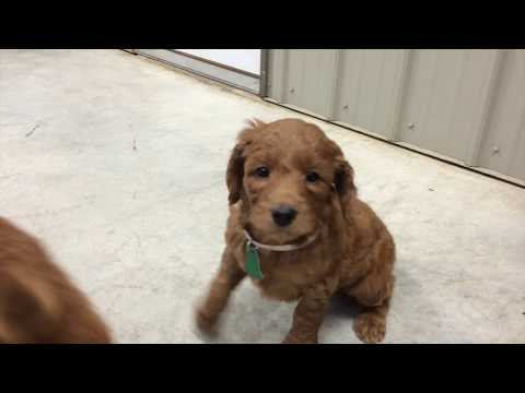 Zoey's Girl | Irish Goldendoodle Puppy for Sale | Sunshine Acres
