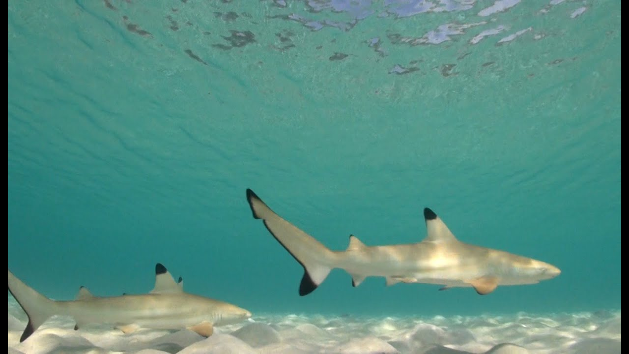 Underwater hd stock footage for sale baby blacktip reef for Baby shark fish