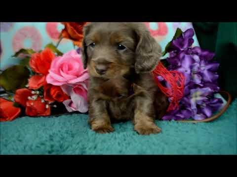 Mini-Dachshund/Cocker Spaniel Puppies for sale **www.maryscockerhaven.com** 719-306-8118
