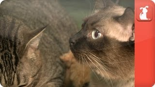Inseparable, large cats must go together - Unadoptables