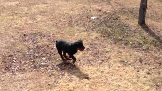 Rottweiler Hip Dysplasia Yes Or No?