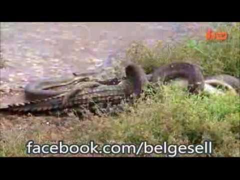 Timsah Yutan Yılan Snake Devours Crocodile