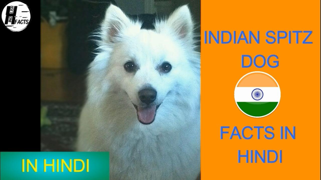 Indian Spitz Dog Facts | Hindi | INDIAN DOG BREEDS | HINGLISH FACTS
