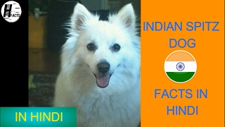 Indian Spitz Dog Facts | Hindi | INDIAN DOG BREEDS | HINGLISH FACTS