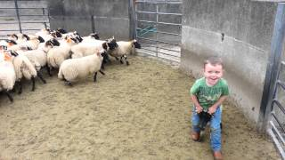 4 year old catches sheep!