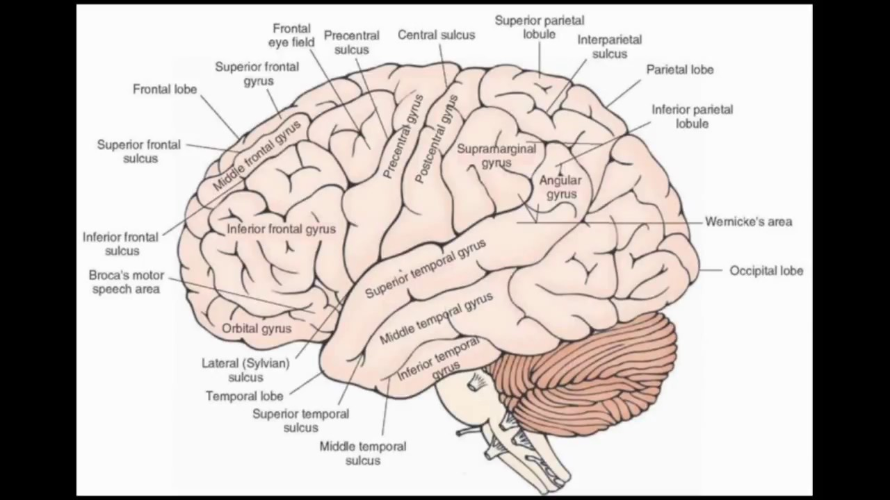 Telencephalon - Sulci & Gyri - YouTube
