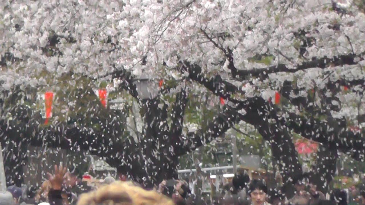 ���������� ����������� cherry blossoms blizzard in ueno park