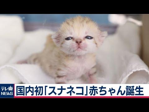 """2020/05/21 国内初!""""砂漠の天使""""スナネコの赤ちゃんが誕生"""