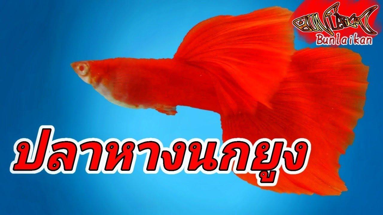 ปลาหางนกย ง เล ยงง ายออกล กเป นต ว Guppy Fish ปลาสวยงาม Bunlaikan บรรล ยก ล Youtube ปลาหางนกย ง ปลาสวยงาม