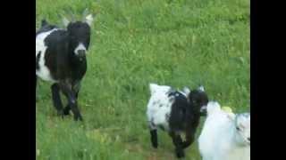 Chèvres miniatures des Tourelles - Fiona, Image et Igloo nous ont rejoint et s'intègrent facilement