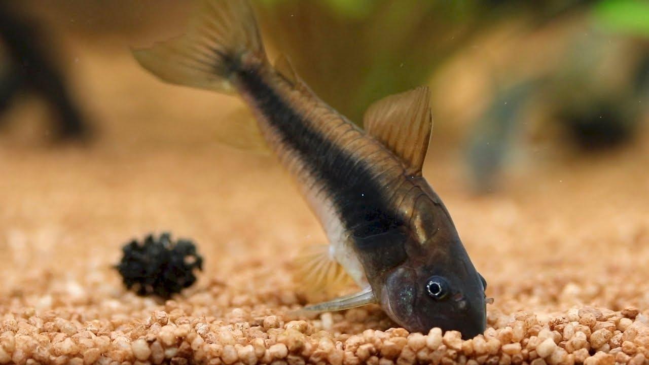 Bronze Corydoras Catfish Feeding Planted Corydoras Aeneus Tank Youtube