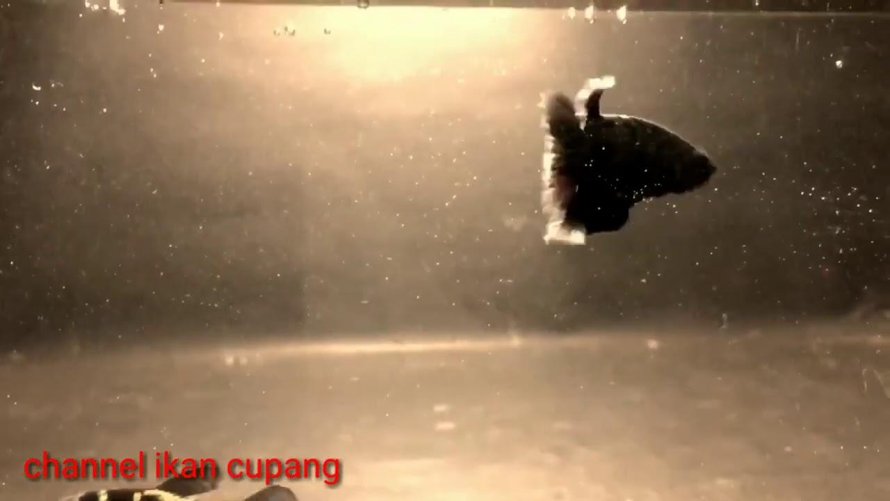 Harga Ikan Cupang Avatar Gold Memang Mantap Youtube