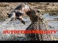 World's Largest / Most Dangerous Crocodile Kept In Captivity - The biggest giant Gator alligator
