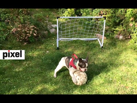 Pixel the French Bulldog Plays Soccer