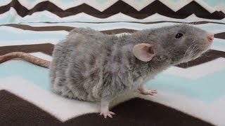 Dealing with Overweight Pet Rats