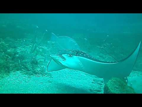 Spotted Eagle Ray in Saint Lucia