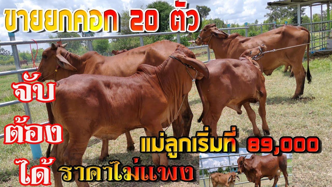 เปิดราคานาทีทอง #ขายวัวยกคอก20 ตัว #วัวบราห์มัน วัวท้องสวยๆ แม่ลุูกเริ่มที่ 89,000 บาท ที่ จ.ยโสธร