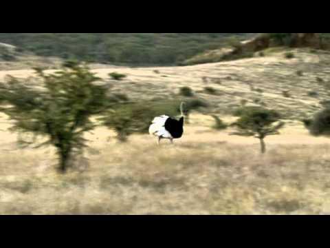 Leopard hunt ostrich