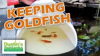 How to Keep Goldfish in the Garden Pond. Ryukin Goldfish, Fancy Goldfish Garden pond