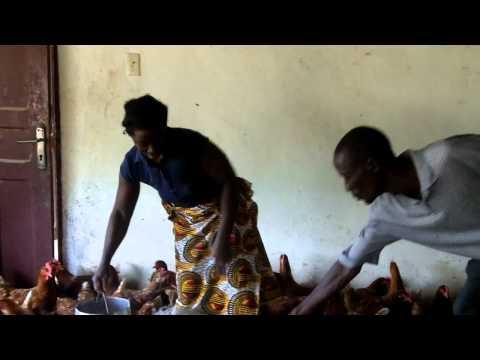 Liberia's organic chickens