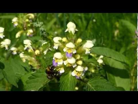 Trädgård Charlottenberg : Hagehumle bombus hortorum på guldå galeopsis speciosa