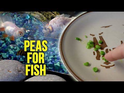 How To Feed Peas To Fish!