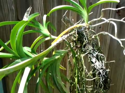 ORCHIDS - Vanda mounting to a wire.