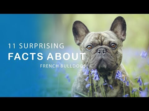 11 Suprising Facts about French Bulldogs