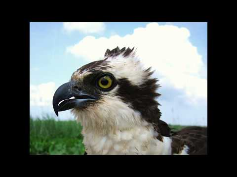 Ospreys on the Patuxent: Smithsonian Bay Optimism Lecture Series