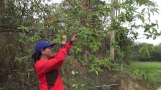 Hmong - Yam noj tau. Grubs Beetle provide good protein. (HD)