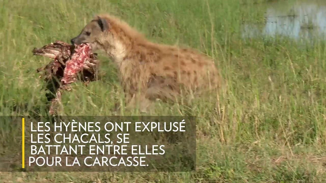 Extrêmement Des hyènes s'arrachent le repas d'un lion - YouTube MR32
